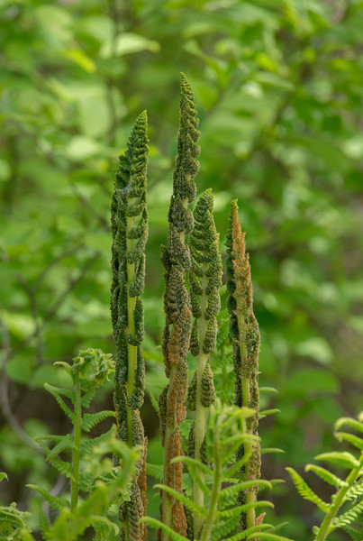 Cinnamon fern (<I>Osmundastrum cinnamomeum</I>) fertile fronds Suitland Bog, Suitland, MD