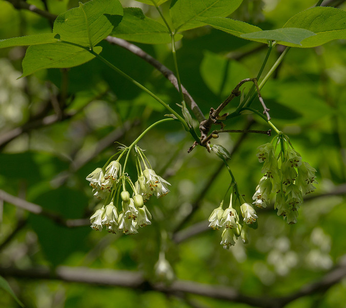 American bladdernut flowers (<I>Staphylea trifolia</I>) Dickerson Conservation Park, Dickerson, MD