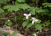 Large-flowered trillium (<I>Trillium grandiflorum</I>) under mayapples G. Richard Thompson Wildlife Management Area, Fauquier County, VA