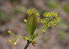 Sassafras (<I>Sassafras albidum</I>) in bloom G. Richard Thompson Wildlife Management Area, Fauquier County, VA