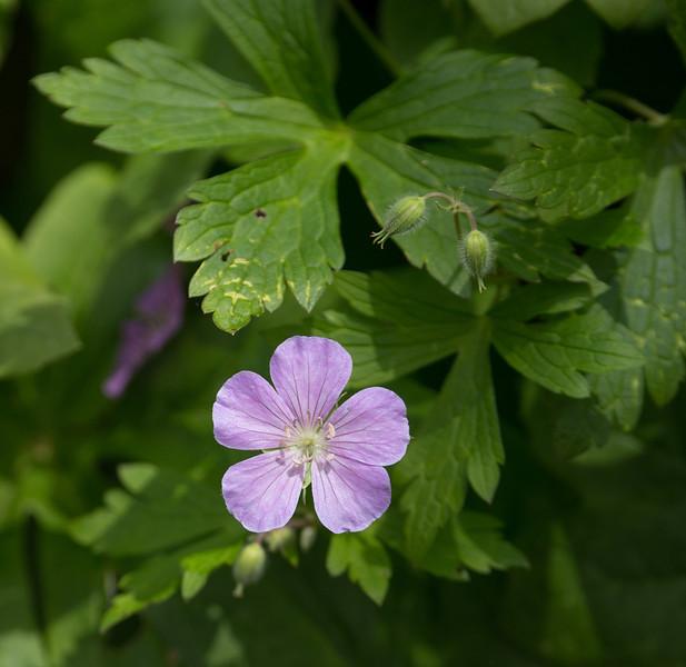 Wild geranium (<I>Geranium maculatum</I>) G. Richard Thompson Wildlife Management Area, Fauquier County, VA