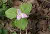 Large-flowered trillium (<I>Trillium grandiflorum</I>) G. Richard Thompson Wildlife Management Area, Fauquier County, VA