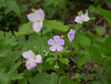 Wild geranium (<I>Geranium maculatum</I>) among trillium G. Richard Thompson Wildlife Management Area, Fauquier County, VA
