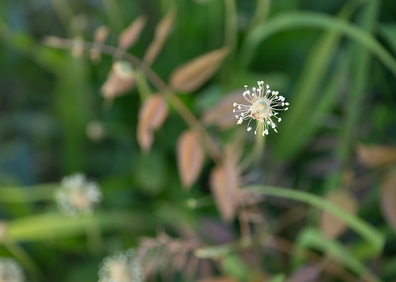 """English plantain flower (<i>Plantago lanceolata</i>) <span class=""""nonNative"""">[non-native]</span> (from above) C&amp;O Canal Nat'l Historical Park - Great Falls, Western Montgomery County, MD"""