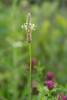 "English plantain (<I>Plantago lanceolata</I>) <span class=""nonNative"">[non-native]</span> McKee-Beshers Wildlife Mgt Area, Poolesville, MD"