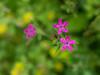 Deptford pink (<I>Dianthus armeria</I>) McKee-Beshers Wildlife Mgt Area, Poolesville, MD