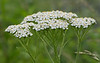 "Yarrow (<i>Achillea millefolium</i>) <span class=""nonNative"">[arguably non-native]</span> McKee-Beshers Wildlife Mgt Area, Poolesville, MD"