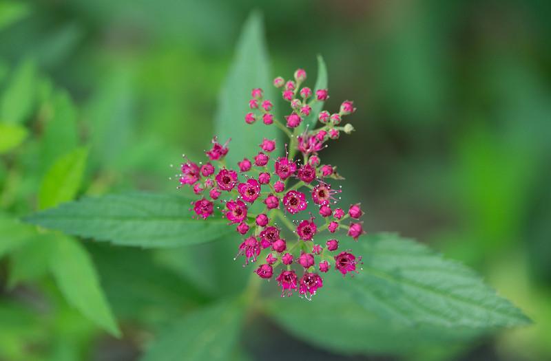 """<i>Spiraea</i> sp. <span class=""""nonNative"""">[garden escape]</span> Sugarloaf Mountain, Frederick County, MD"""