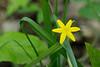 Yellow stargrass (<I>Hypoxis hirsuta</I>) Catoctin Mountain Nat'l Park, Frederick County, MD