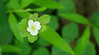 Rue anemone (<I>Thalictrum thalictroides</I>), late in season Catoctin Mountain Nat'l Park, Frederick County, MD