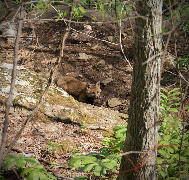 Fox kit venturing out of den on spring afternoon<br /> G. Richard Thompson Wildlife Management Area, Fauquier County, VA