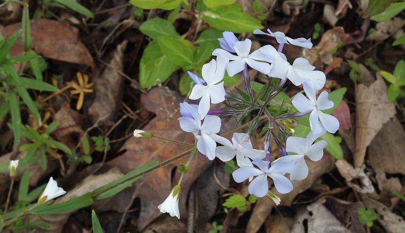 Wild blue phlox (<I>Phlox divaricata</I>) C&O Canal Nat'l Historical Park, Western Montgomery County, MD