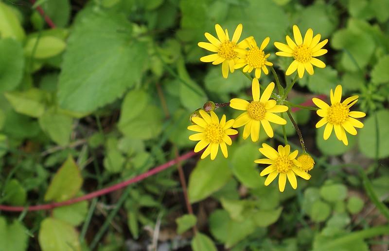 Golden ragwort (<i>Packera aurea</i>) C&amp;O Canal Nat'l Historical Park, Western Montgomery County, MD