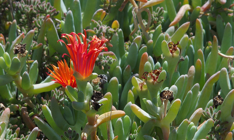 """Red ice plant (<i>Malephora crocea</i>?) on drought-ridden hillside leading up to Presidio Park <span class=""""nonNative"""">[Invasive]</span> San Diego, CA"""