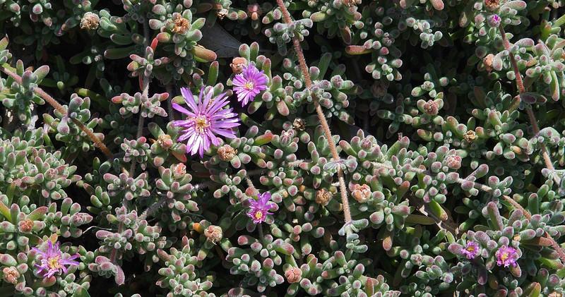 "Purple ice plant (<i>Delosperma</i>?) on drought-ridden hillside leading up to Presidio Park <span class=""nonNative"">[Invasive]</span> San Diego, CA"