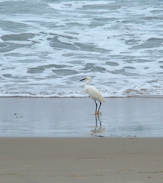 Snowy egret on Pacific Beach<br /> San Diego, CA