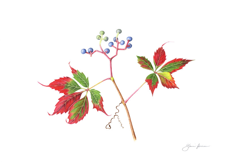 """<i>Virginia  Creeper</i>  (2015) Colored pencil - 12"""" x 17"""" Exhibited at <i>Botanica 2019: The Art and Science of Plants</i>, Brookside Gardens, Wheaton, Maryland"""