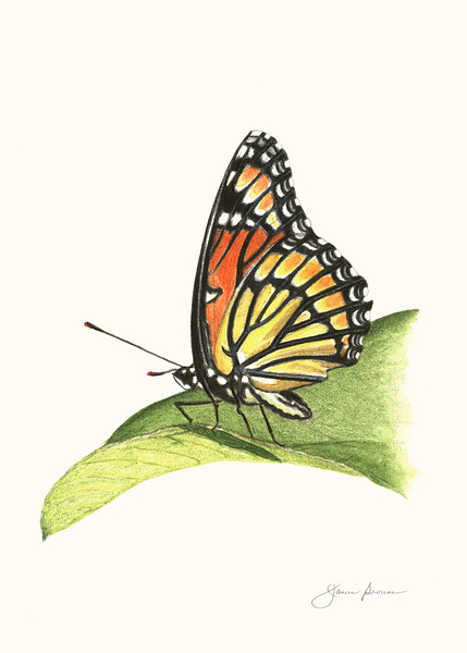 "Viceroy - Watercolor Pencil & Col. Pencil<br /> 5"" x 7"""