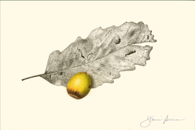 "<i>Chestnut Oak</i>  (2015) Graphite &amp; colored pencil - 6"" x 9"""