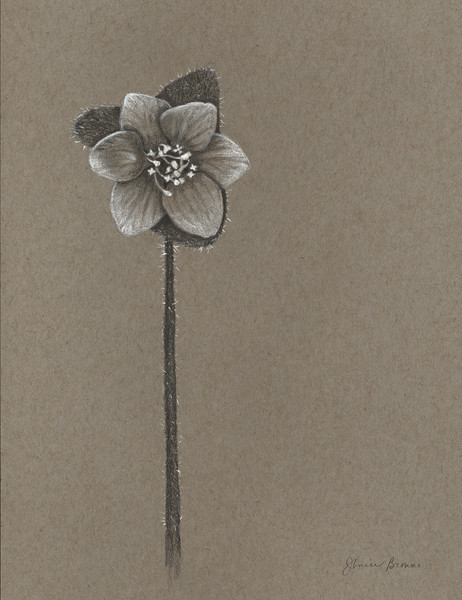 """<i>Round-Lobed Hepatica</i>  (2014) Graphite &amp; white charcoal on toned paper - 8.5"""" x 11"""""""