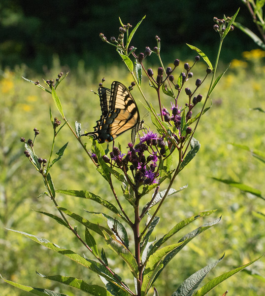 Tiger swallowtail nectaring on New York ironweed (<i>Vernonia noveboracensis</i>) Little Bennett Regional Park, Clarksburg, MD