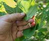 Catkins (male flowers) of American hazelnut (<i>Corylus americana</i>) Little Bennett Regional Park, Clarksburg, MD
