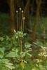 Thimbleweed (<i>Anemone virginiana</i>) in fruit Little Bennett Regional Park, Clarksburg, MD