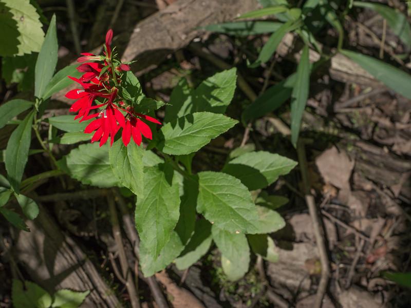 Cardinal flower (<i>Lobelia cardinalis</i>) in Hughes Hollow wooded swamp McKee-Beshers Wildlife Mgt Area, Poolesville, MD