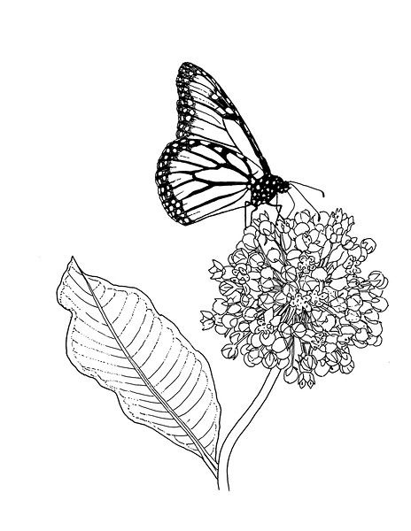 "<i>Monarch on Common Milkweed</i>  (2019) Pen &amp; ink - 8.5""x11"" For BASNCR pollinator coloring book"