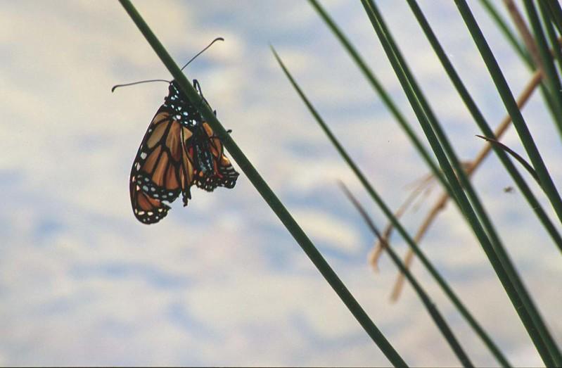 Monarch by Little Seneca Lake (newly emerged?)<br /> Boyds, MD