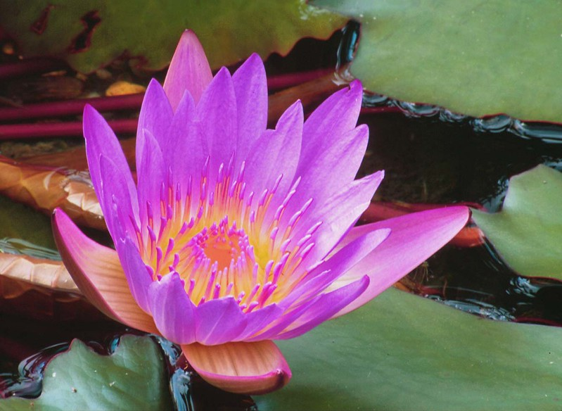 "Unidentified lotus <span class=""nonNative"">[garden planting]</span> Brookside Gardens, Wheaton, MD"