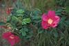 "Salt-spray roses (<i>Rosa rugosa</i>) on the beach <span class=""nonNative"">(non-native, naturalized)</span> Cape Cod, MA"
