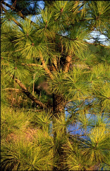 Pine tree in setting sunlight<br /> Chincoteague National Wildlife Refuge, VA