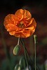 "Poppy <span class=""nonNative"">[garden planting]</span> Cape Cod, MA"