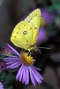 Clouded_Sulphur_Brookside