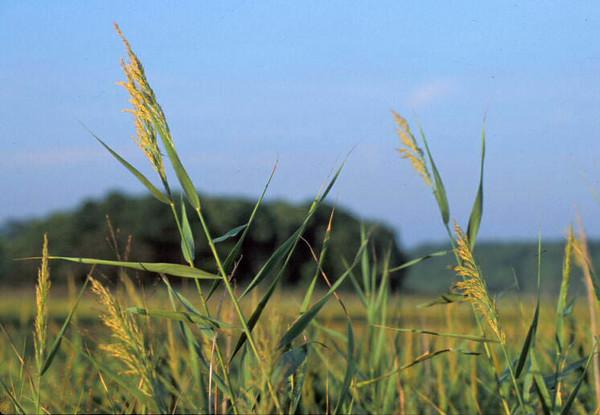 Marsh grass<br /> Wellfleet, Cape Cod, MA