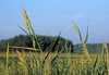Marsh grass<br /> Wellfleet, Cape Cod, MA