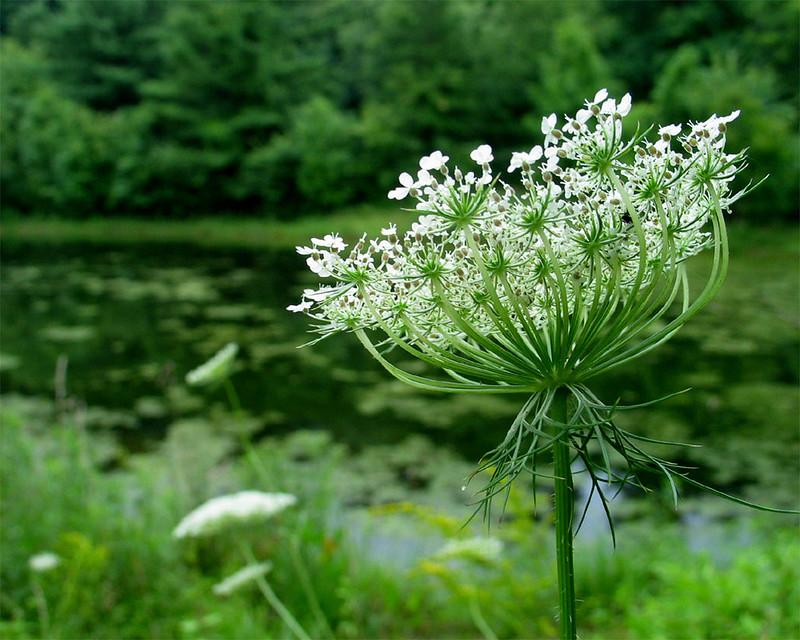 Queen Anne's lace<br /> Jug Bay Wetlands Sanctuary, Lothian, MD