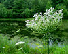 Queen Anne's lace<br /> Jug Bay Wetlands Sanctuary, Lothian, MD