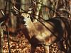 Whitetail deer buck in autumn woods<br /> Shenandoah National Park, VA