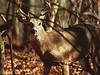 Whitetail deer buck in autumn woods<br /> Shenandoah National Park, VA