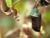 Monarch chrysalis along Limberlost trail<br /> Shenandoah National Park, VA