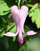 Bleeding heart (<i>Dicentra eximia</i>) My natives garden, Silver Spring, MD
