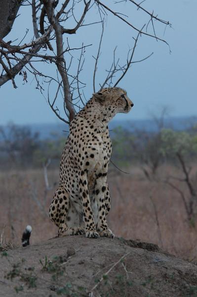 Cheeta1