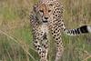 Cheetah_Cubs_Phinda_2007_SouthAfrica_0002