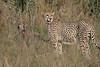 CheetahwithCubs01 (5)
