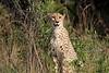 Cheetah_Cubs_Phinda_2007_SouthAfrica_0001