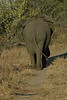 Elephant (51)