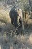 Elephant (37)