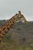 Giraffe (15)